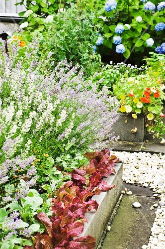 Lettuce and herbs in beds