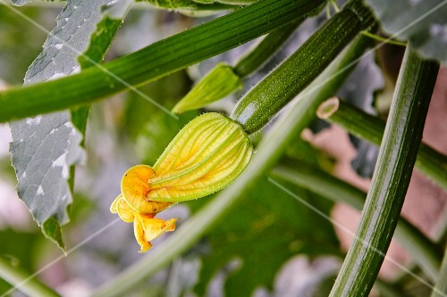 A courgette flower on a plant