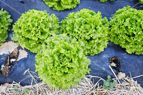 Endive lettuce in a flower bed