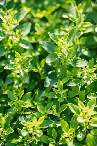 Oregano growing in a garden