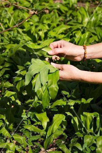 Wild garlic being picked