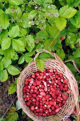 Wild strawberries in a basket between wild strawberry plants