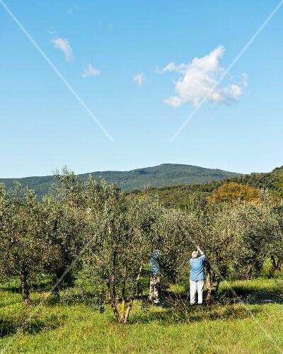 Olives being harvested in Massa Marittima (Tuscany, Italy)