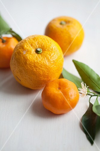 A yuzu fruit and mandarins with leaves