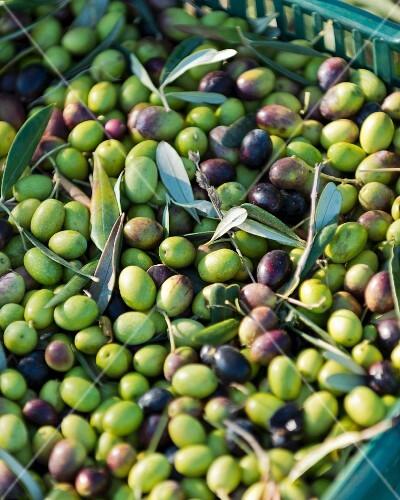 Freshly harvested olives (Maremma Natural Park Albarese)