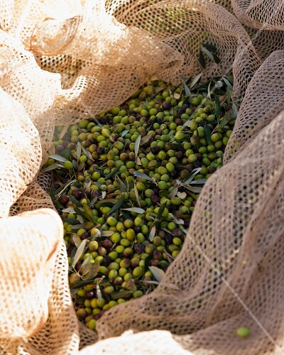 Freshly harvested olives in a catching net (Maremma Natural Park Albarese)