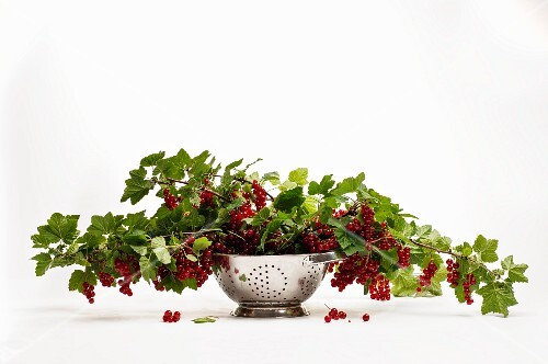 A sprig of fresh redcurrants in a colander