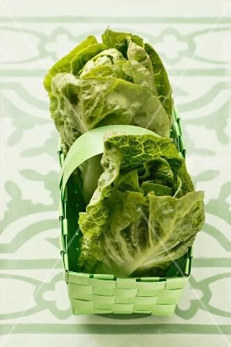 Fresh lettuces in a green basket