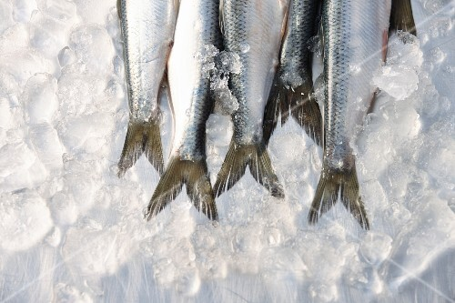 Fresh sardine tails on ice