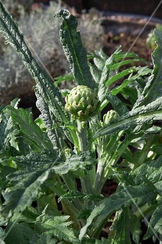Artichoke plants in a garden