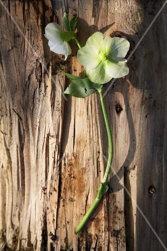 White primroses on a piece of bark