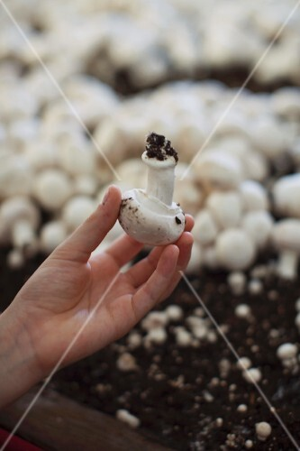 A child holding a freshly picked mushroom