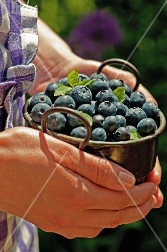 Hands holding a pots of blueberries