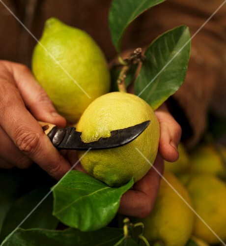 A freshly picked lemon being cut