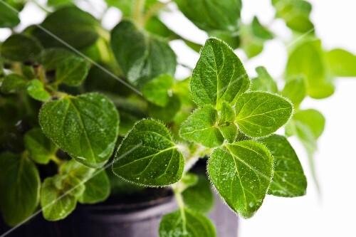 Oregano in plant pot.
