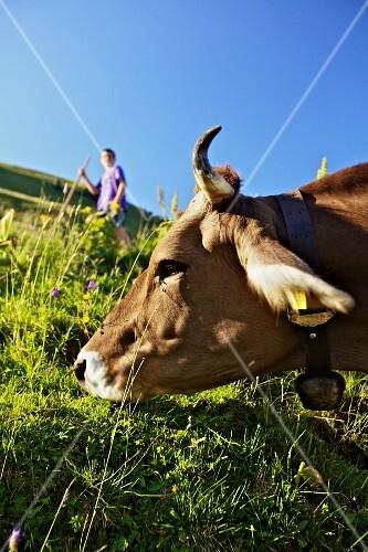 A cow grazing on an alm (Bregenzerwald, Vorarlberg, Austria)
