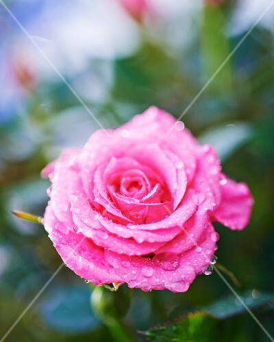 Drops of dew on pink rose (close-up)