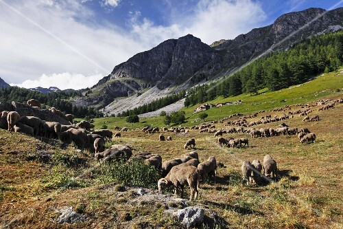 A flock of sheep in a field in the Alps (France)