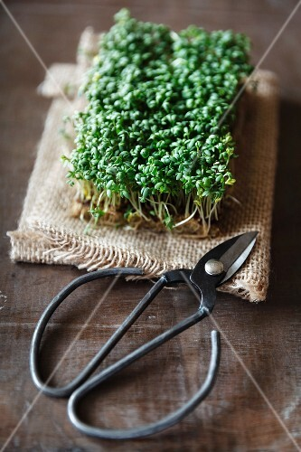 Fresh cress on a piece of jute with a pair of herb scissors