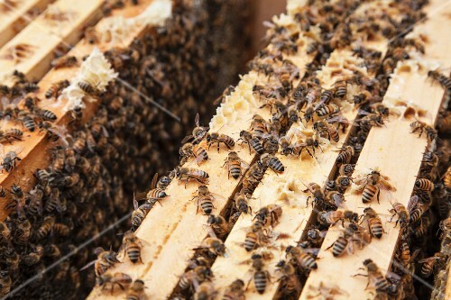 Bees on the frame of a hive