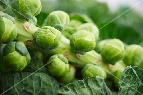 Brussels sprouts in a garden (close-up)