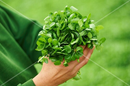 A worker in a garden holding a bunch of watercress