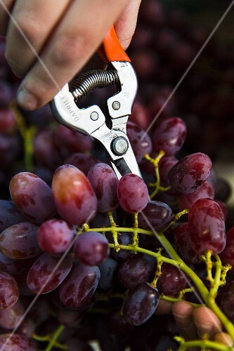 Red grapes being cut with vine cutters