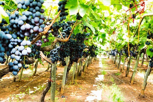 Vines of red wine grapes in a vineyard