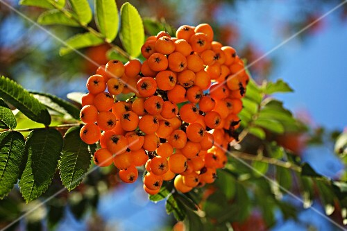Rowan berries (sorbus aucuparia) on a tree