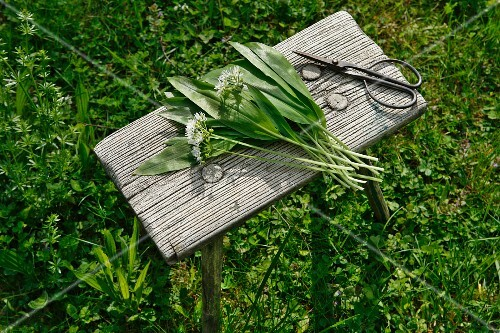 Freshly harvested wild garlic on a wooden table in the open air