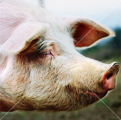 A pig outside (close-up)