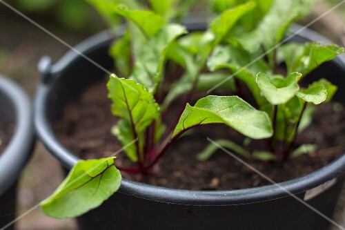 Young beetroot plants in a plastic pot