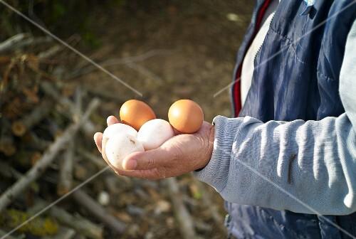 Hands holding fresh chicken eggs