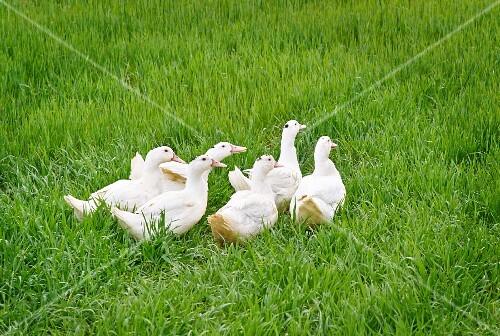 White ducks in a field
