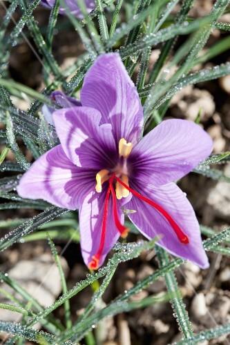 A saffron flower on a plant