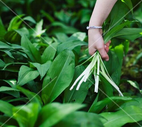 A hand picking fresh wild garlic