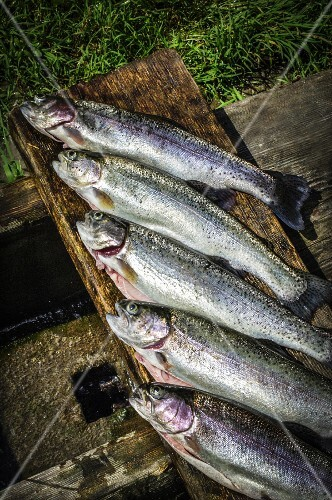 Freshly caught rainbow trout from Ybbstal (Lower Austria)