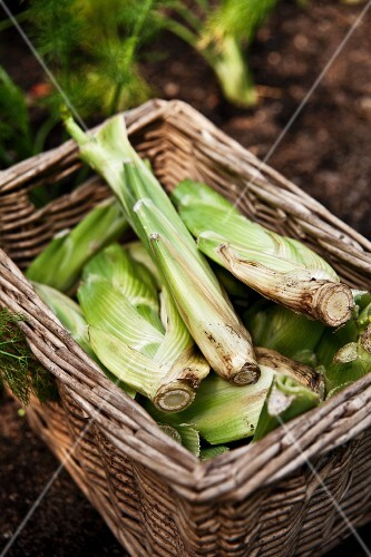Freshly picked fennel bulbs in a harvesting basket