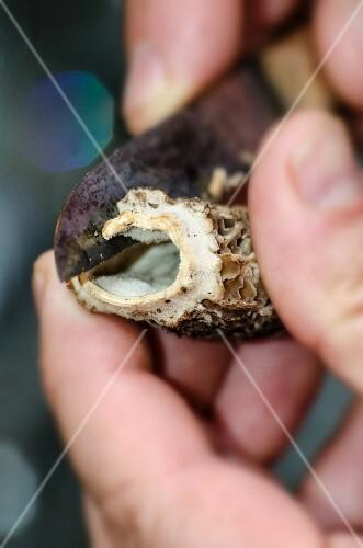 A fresh morel mushroom being halved