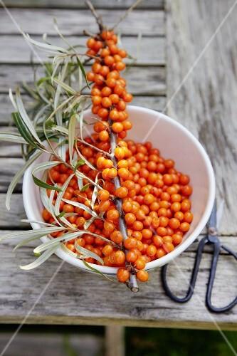 Freshly harvested sea-buckthorn berries