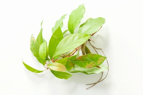 A sprig of camphorwood (cinnamomum camphora)