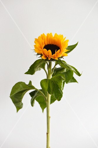 A sunflower against a white background