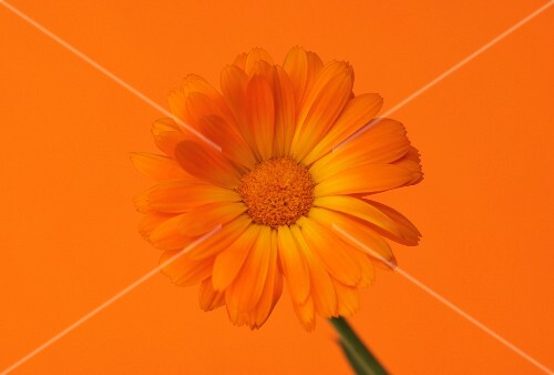 A marigold against an orange background