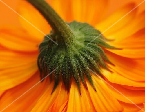 The underside of a marigold