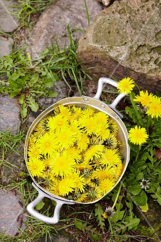 Freshly picked dandelions in a pot outside