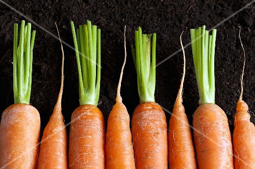 A row of carrots on the ground