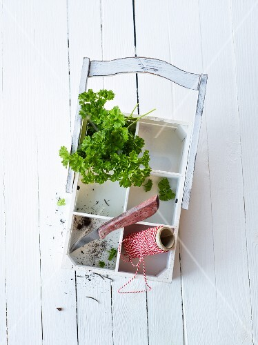 Fresh parsley with kitchen twine and a knife in a wooden basket