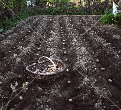 Seed potatoes in a field