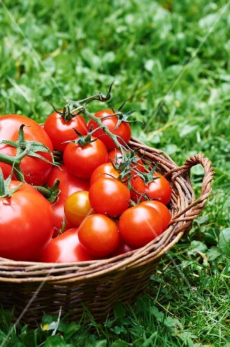 A basket of fresh tomatoes in a field