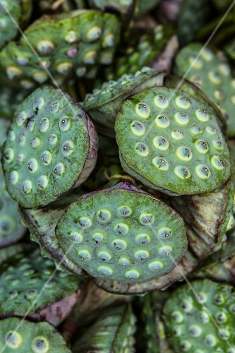 Lotus pods with seeds (Thailand)